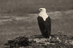 Fishing Eagle -