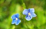 veronika blomma