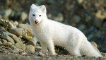 Svalbards räv