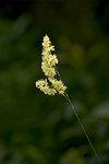 Grässtrå i motljus 2