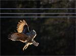 Lappuggla inför landning