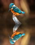 "Kingfisher ""I am beautiful"""