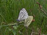 Parande Rapsfjärilarjärilar Kärna mosse Naturreservat