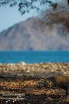 Komodo vid havet