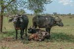Buffelfamilj