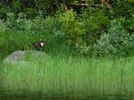 Skogsmård i Lombäcken