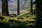 Skogen i motljus