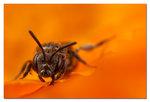 Ett litet litet bi på diagonalen i hav av orange