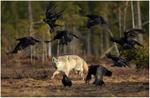 Finska vargen