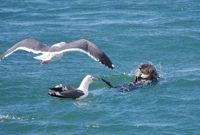 Sea Otter with gulls