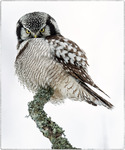 Hökuggla (the northern hawk-owl)