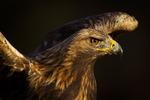 Guldfågel