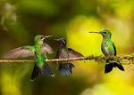 Argumentation mellan tre kolibrier