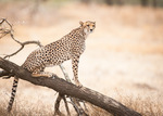 En vacker gepardmamma
