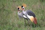 Krontranor i Serengeti