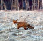 Mötet med räven