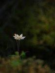Skira blommor
