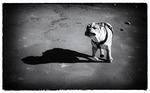 Harry, Engelsk bulldog