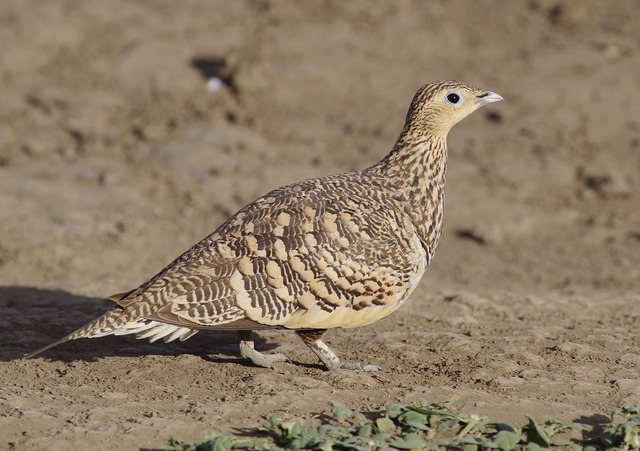 Chestnut-bellied Sandgrouse female