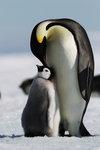 Kejsarpingviner