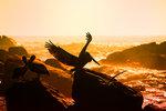 Mera pelikaner