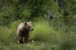 Lufsande björn