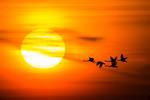 Solen och svanarna