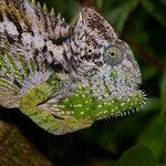 #2780771 Madagascar Giant Chameleon. Fångenskap Madagaskar