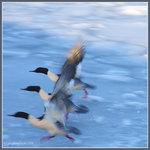 Blurry Birds