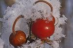 Vinter Nypon