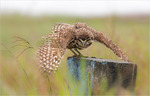 The Southern Burrowing Owl