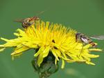Blomflugor i kö