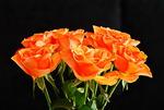 I sällskap av rosor