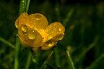 Blomma i regn 2