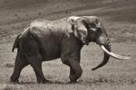 Elefant i Ngorongoro-kratern -