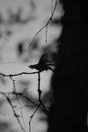 Fågel - Talgtita