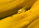 Gult döljer gult