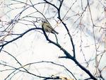 Kungsfågel