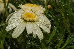 Blomma i regn 1