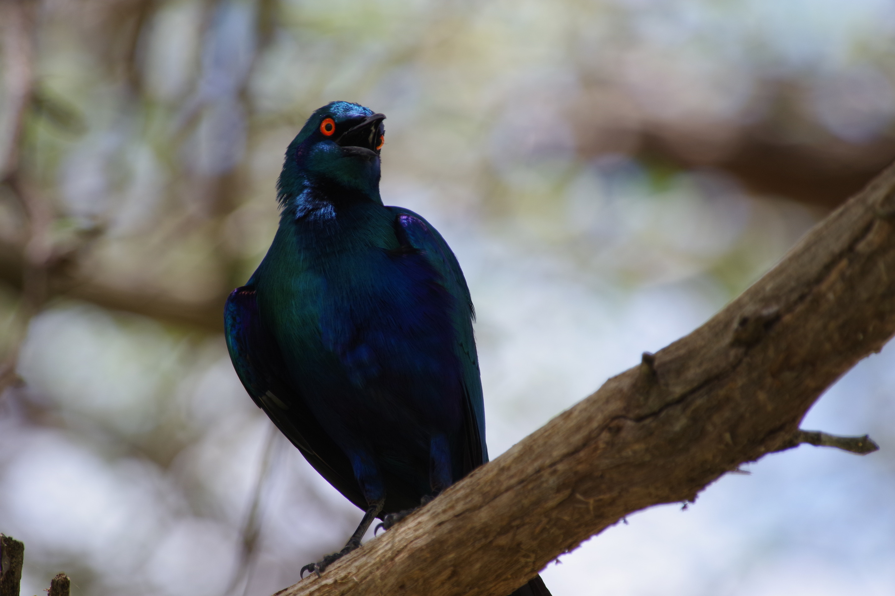 Lesser Blue-eared Starling