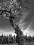 The old mountain birch.jpg