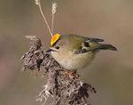 Kungsfågel i höstfärger