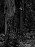 Den Tretåiga hackspettens skog...