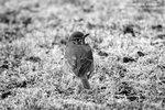 Fågel i svartvitt