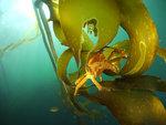 Krabba i kelp