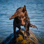 Fulhund