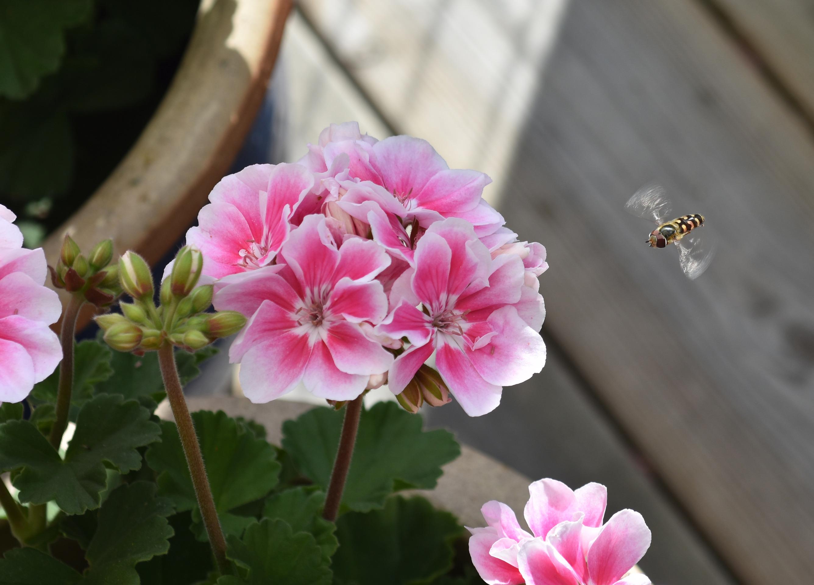 En Blomfluga ryttlar framför en Pelargon på altanen
