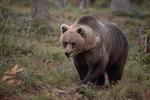 Brown bear #1
