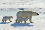 Isbjörn med sina ungar
