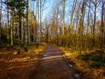 Skogsväg Björkar